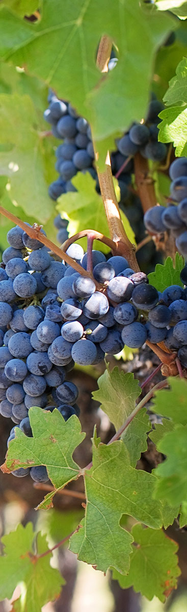 purple-grapes-vineyard